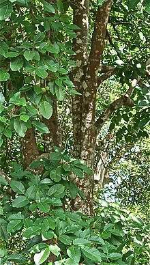 220px-Mature_Santol_tree_in_the_Philippines_--_2.jpg